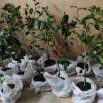 r椿植樹ツアー2014準備002