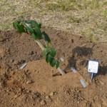 r椿植樹ツアー2014011