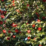 camellia_nursery004